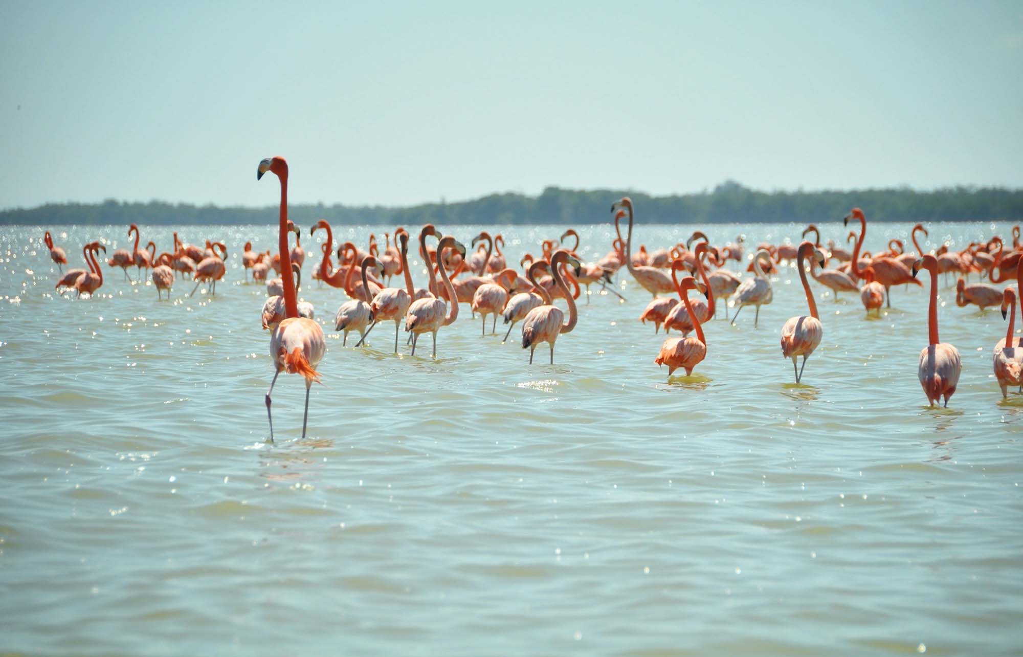holbox flamants roses