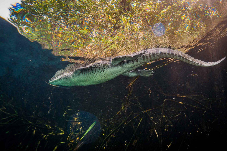 Crocodile Casa Cenote