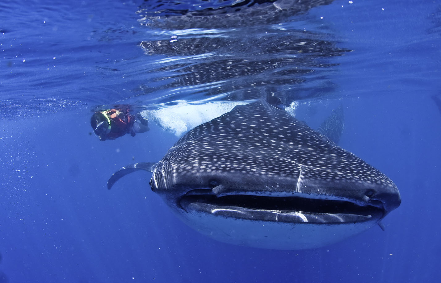 requins baleines au Mexique