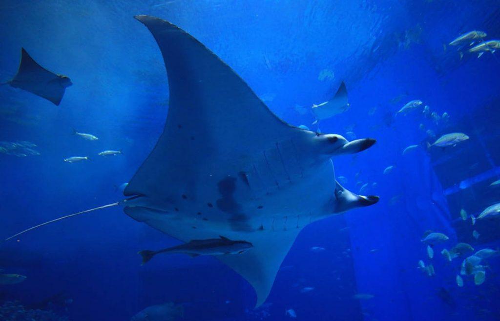 raie requins baleines