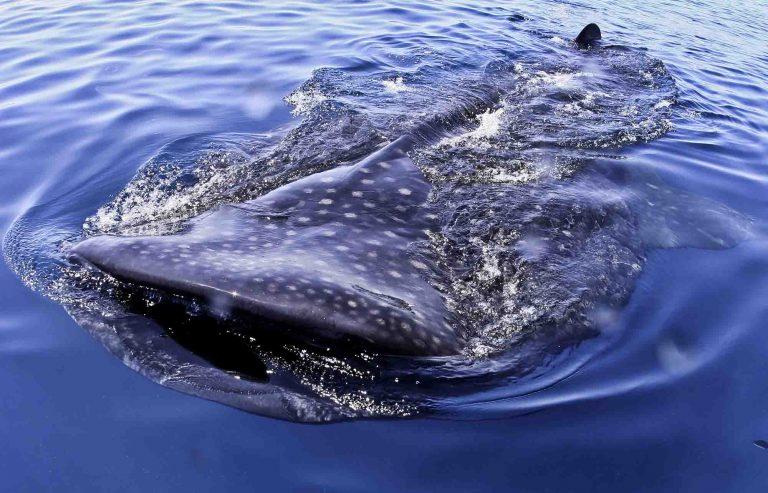 requin baleine au mexique